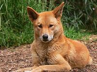 Слышали и видели: дикая австралийская собака динго