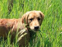 Почему собаки так любят есть свежую траву?